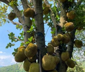 周末在百色的乡下看到树菠萝和芭蕉树最原始的状态。